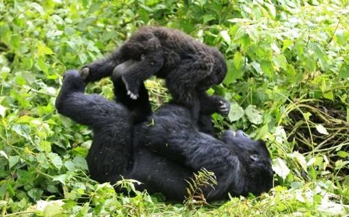 potd-gorillas_2375434k