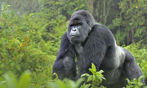 virunga-gorillas_-7