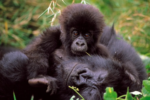 virunga_gorillas