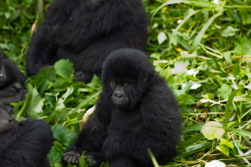 Virunga_Mountain_Gorilla_
