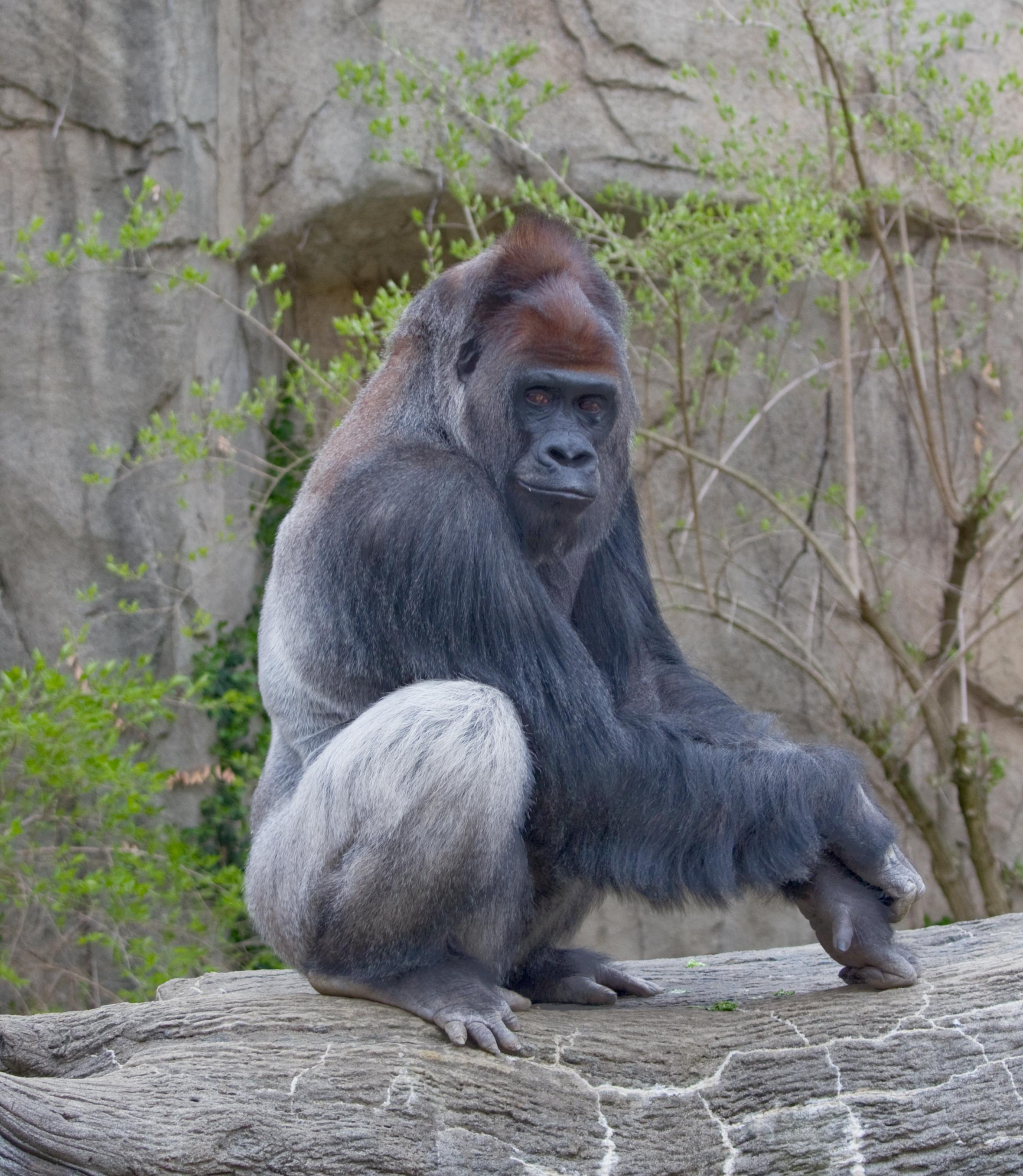 Gorilla boner pron scene