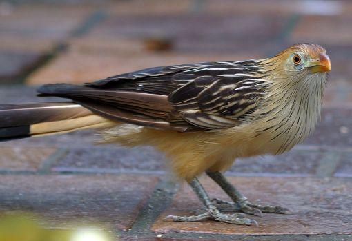 1280px-Guira_guira_national_aviary
