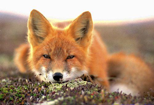 03-15-32_red-fox_original