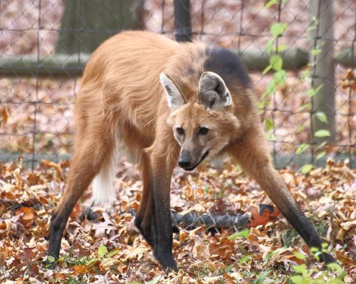 1024px-Maned_Wolf_11,_Beardsley_Zoo,_2009-11-06
