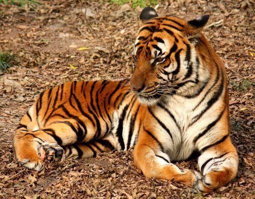 1280px-2012_Suedchinesischer_Tiger