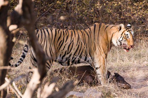 1280px-Hunting_Tiger_Ranthambore