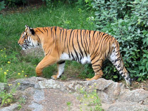 1280px-Panthera_tigris_corbetti_01