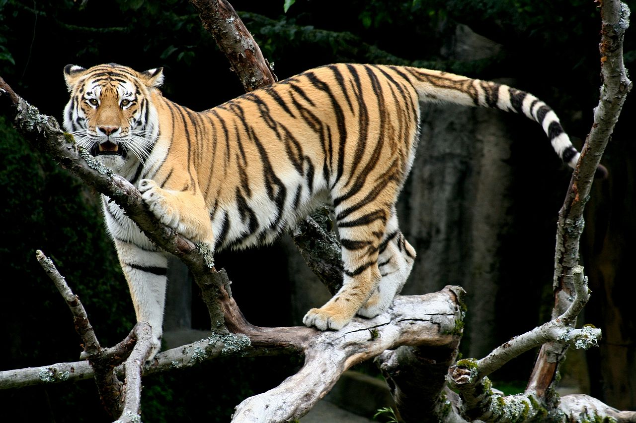 The Tiger (Panthera tigris). | PARENTS ALLIANCE OF PRINCE ...