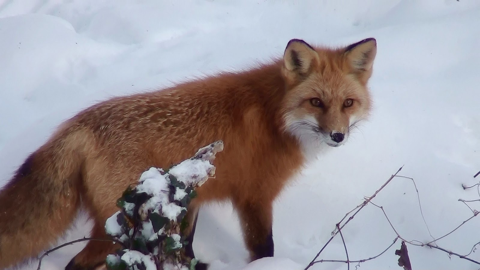 Red Fox (Vulpes vulpes). | PARENTS ALLIANCE OF PRINCE GEORGE'S COUNTY, MARYLAND