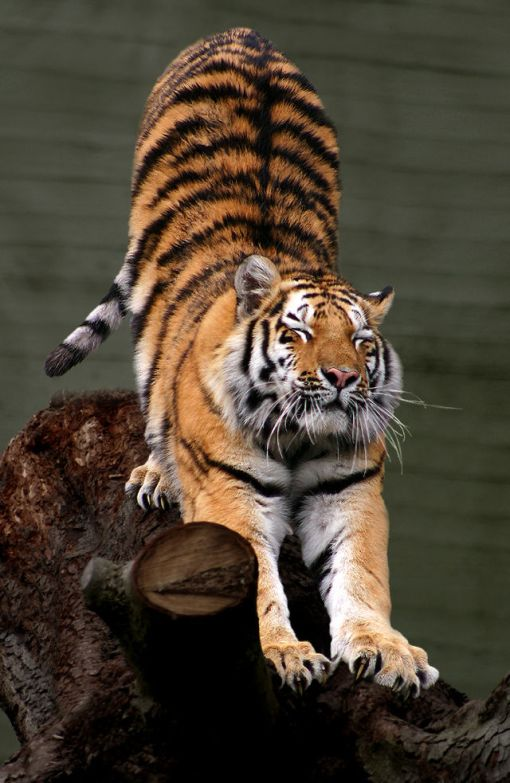 640px-Siberian_Tiger_by_Malene_Th