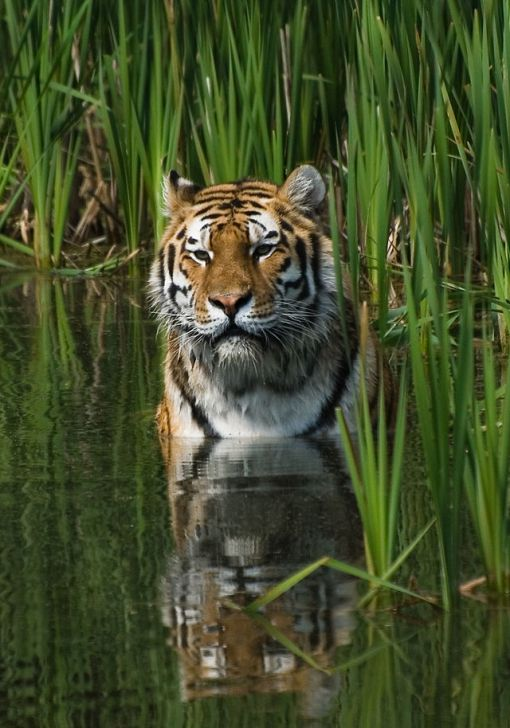 640px-Tigerwater_edit2
