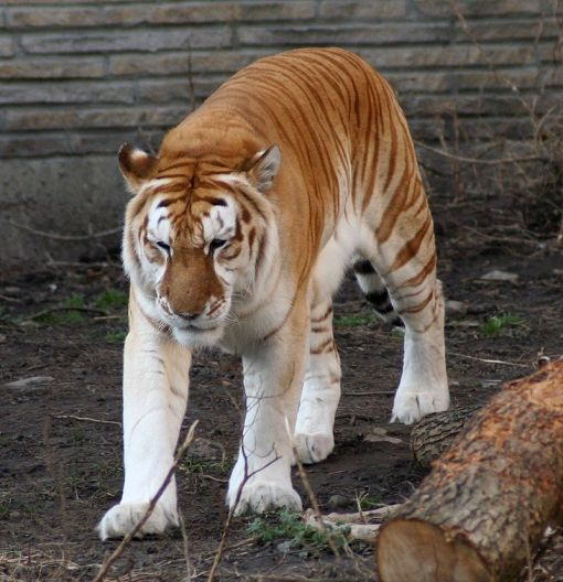 800px-Golden_tiger_1_-_Buffalo_Zoo