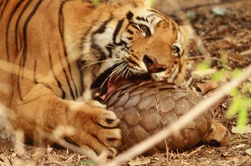 A_Bengal_Tiger_(Panthera_tigris_tigris)_with_Indian_Pangolin(Manis_crassicaudata)_Tadoba_Tiger_Reserve_Maharastra