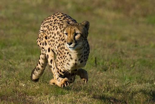 cheetah-running-baw