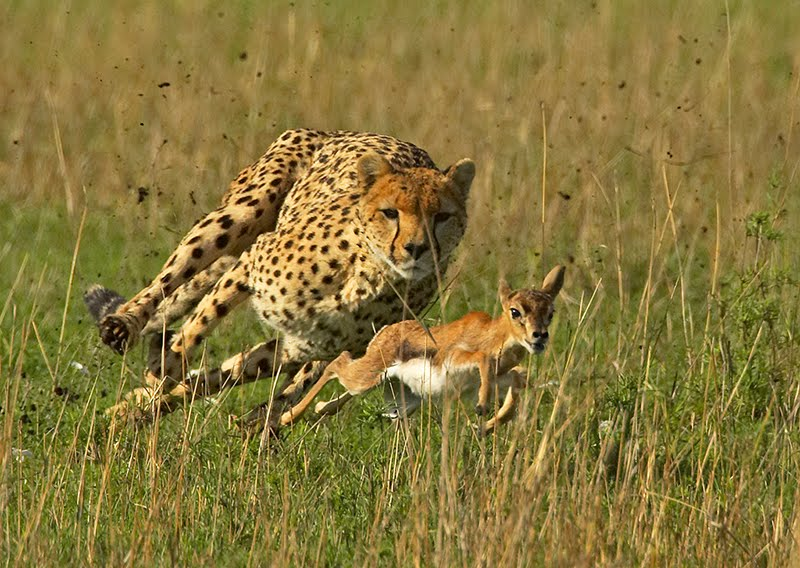 What Habitat Do Cheetahs Live