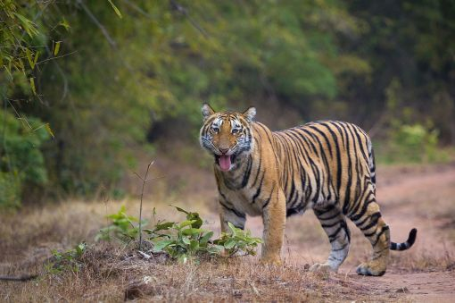 Flehmen_Response_in_a_Sub_Adult_Tiger