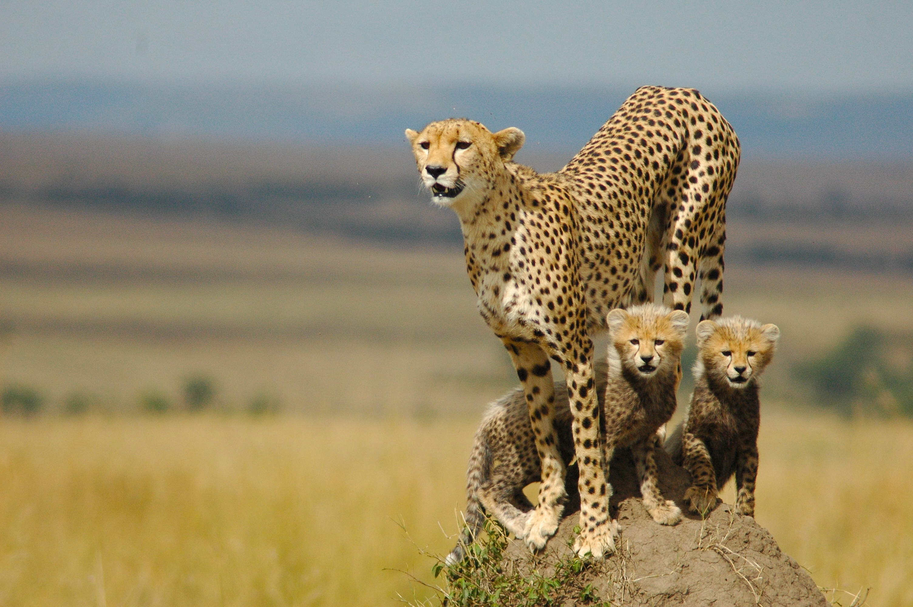 Cheetahs chase tourists at Dutch safari park after family gets out of car to snap pictures