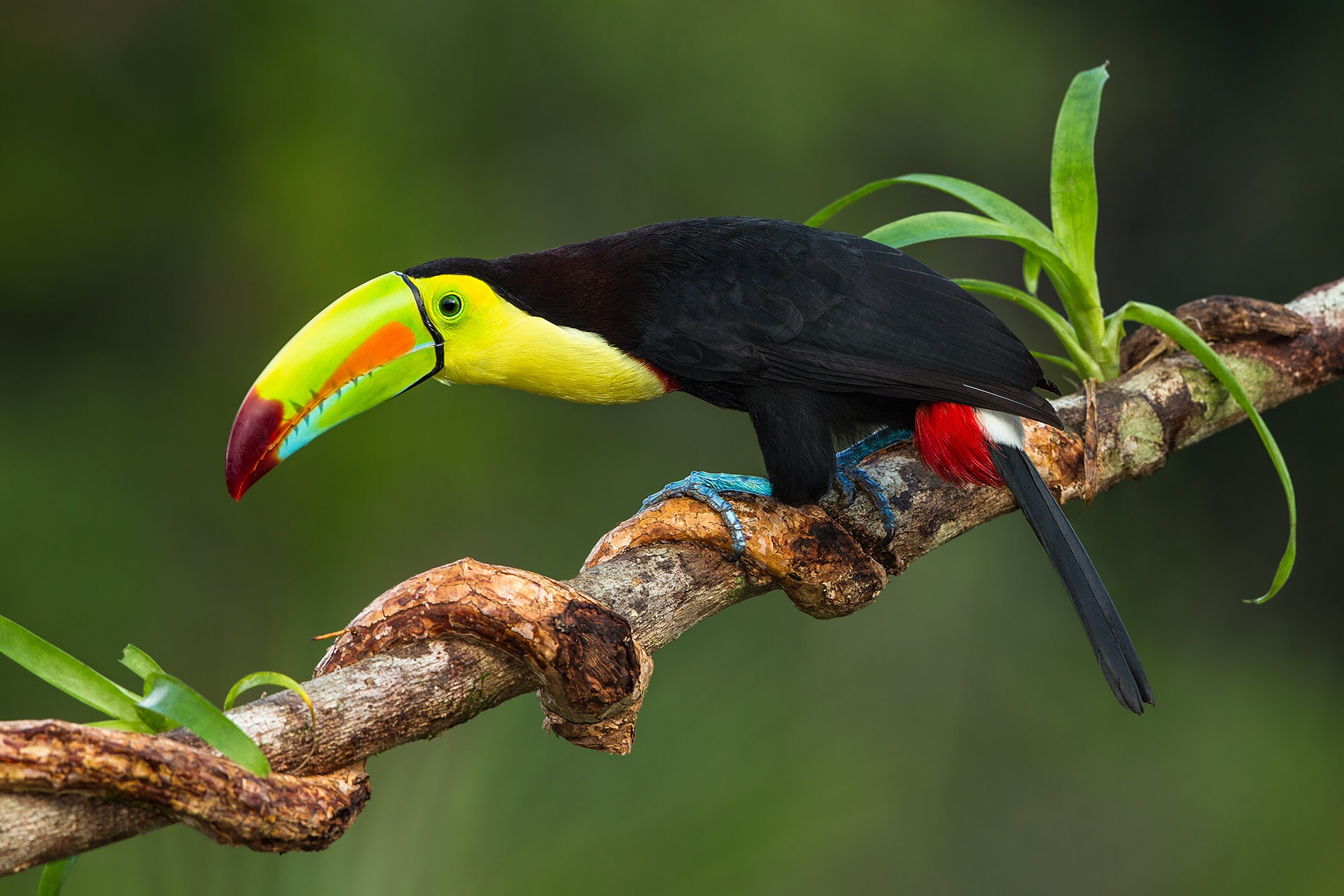 Toco Toucan (Ramphastos toco). | Help Change The World. The Future Of ... Baby Toco Toucans