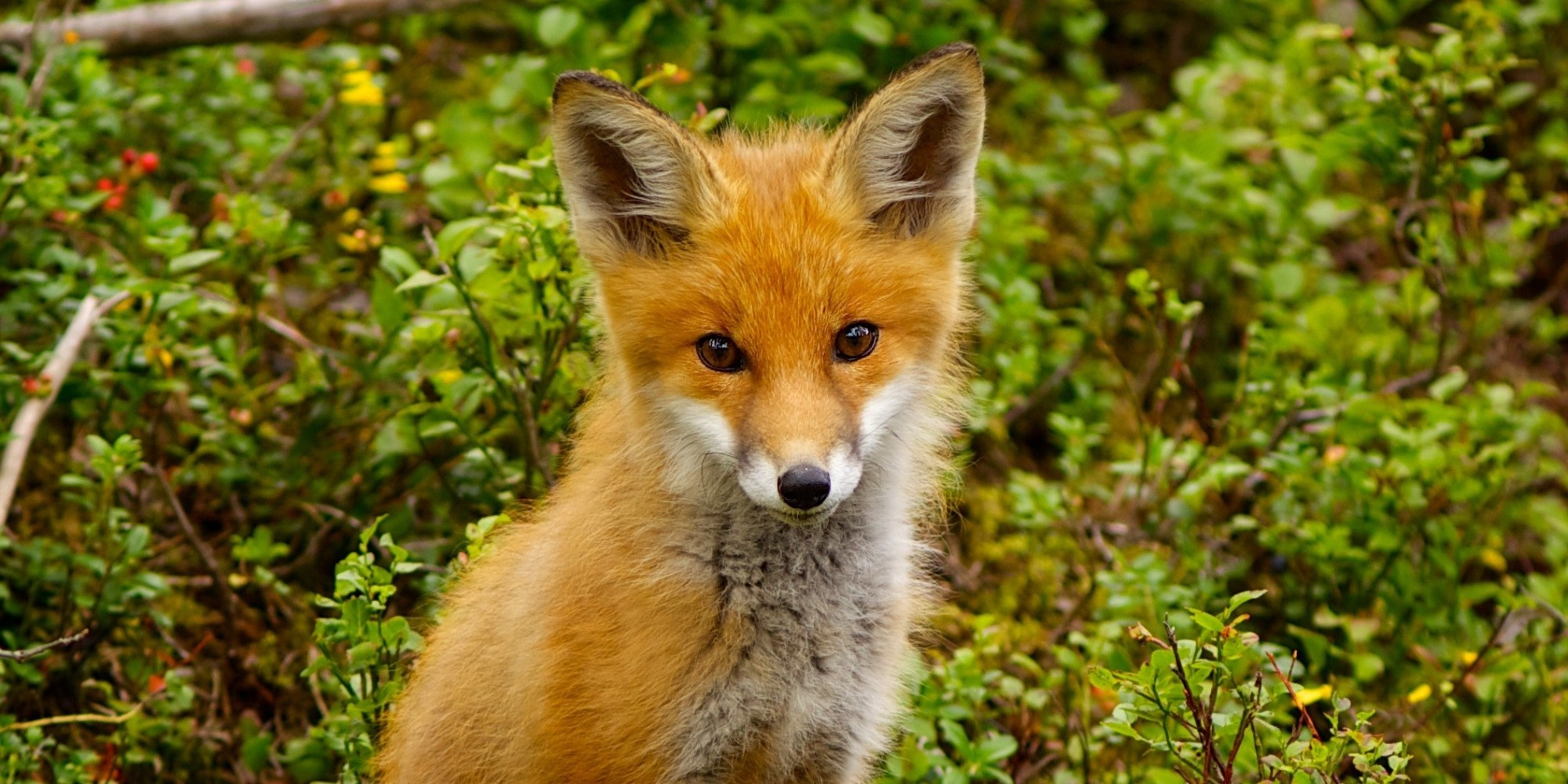 Red Fox (Vulpes vulpes). Part II. | pgcps mess - Reform ...