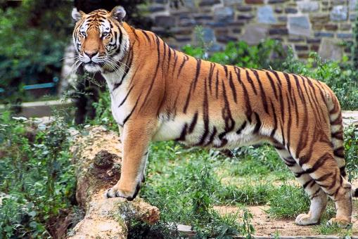 Panthera_tigris_tigris_edited2