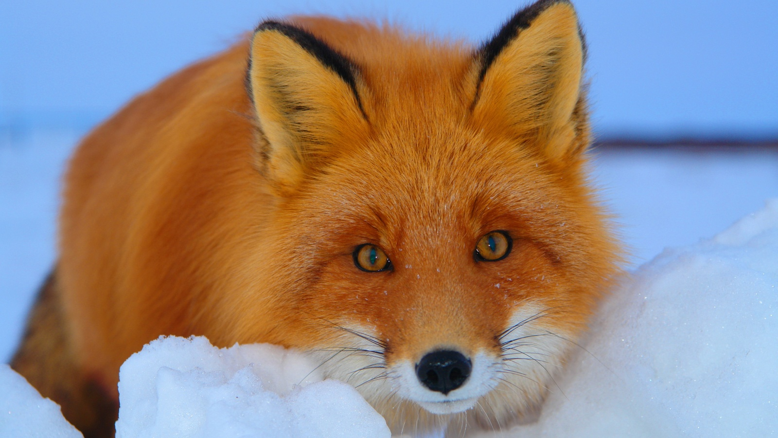 Red Fox (Vulpes vulpes). Part II. | Help Change The World ...