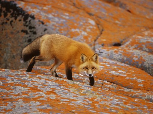 Red-Fox-red-foxes-13289712-1600-1200