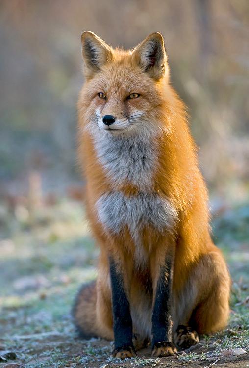 Red-Fox-Sitting