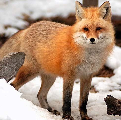 red-fox-snow