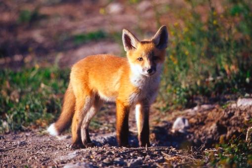 Red Fox, Bear River Migratory Bird Refuge