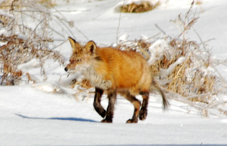 Red Fox (Vulpes Vulpes). Part II.