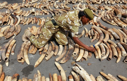 A Kenyan wildlife ranger inscribes markings on the 775 elephant tusks that was seized by the port police at the container terminal destined for Malaysia in the coastal town of Mombasa