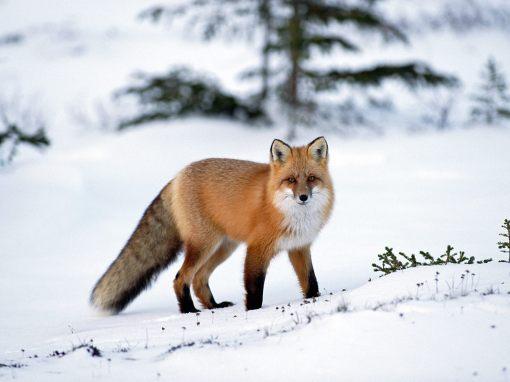 The-best-top-desktop-fox-wallpapers-hd-fox-wallpaper-1-red-fox-in-the-snow