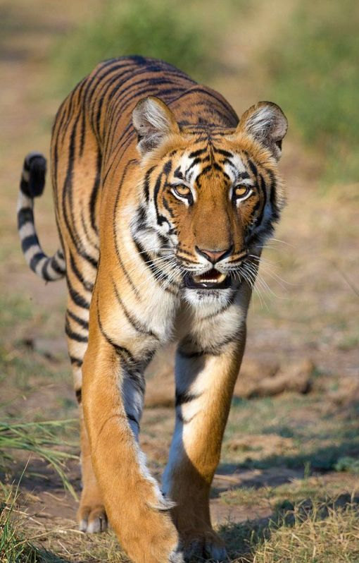 Tigress_at_Jim_Corbett_National_Park