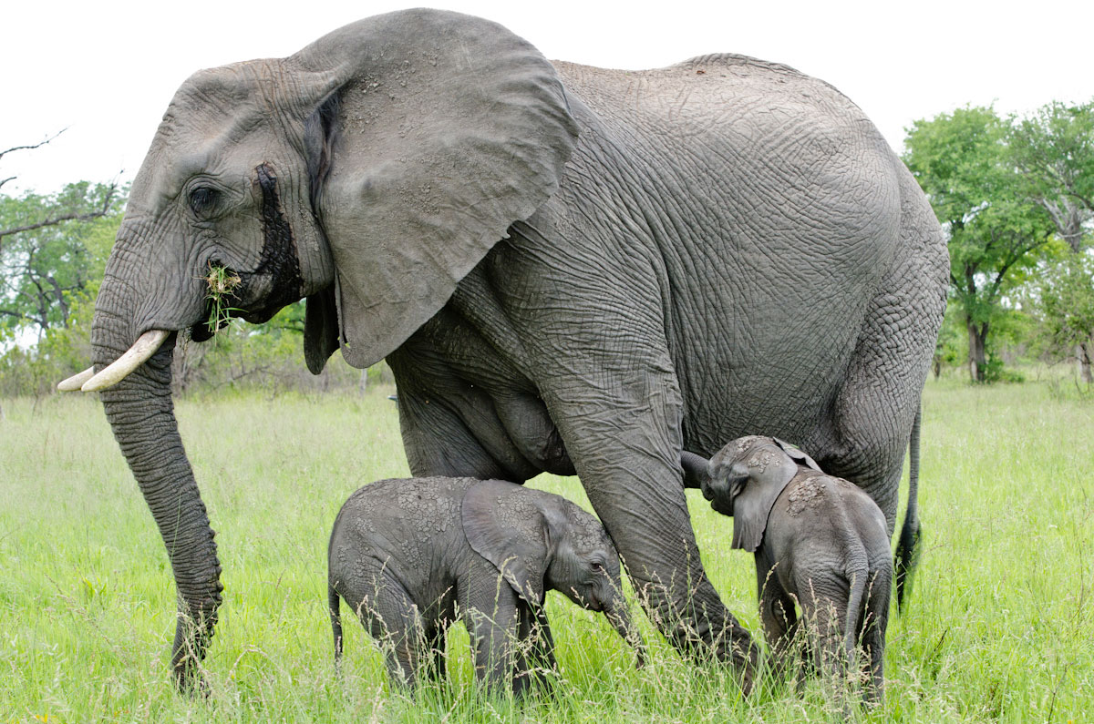 African Elephants. | pgcps mess - Reform Sasscer without ...