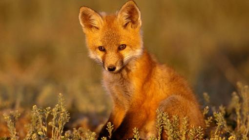Young%20Red%20Fox
