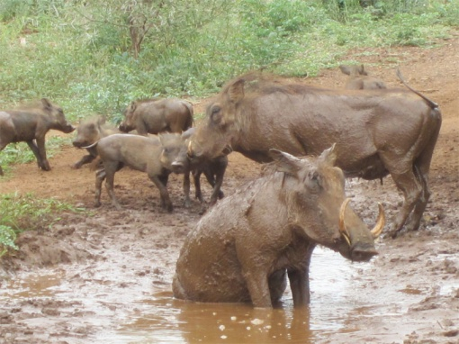 africa_warthogs