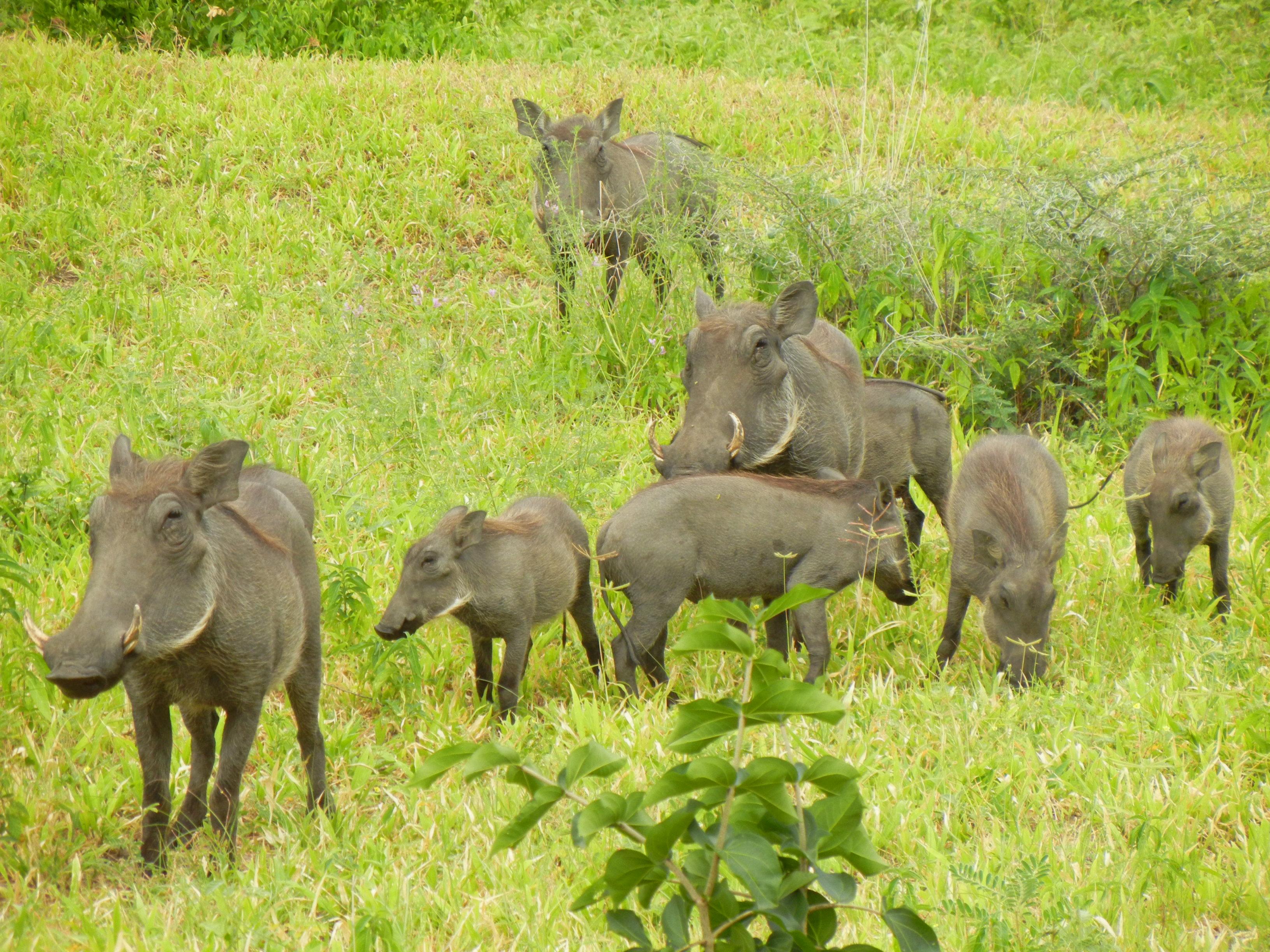 The Warthog Phacochoerus Africanus Pgcps Mess