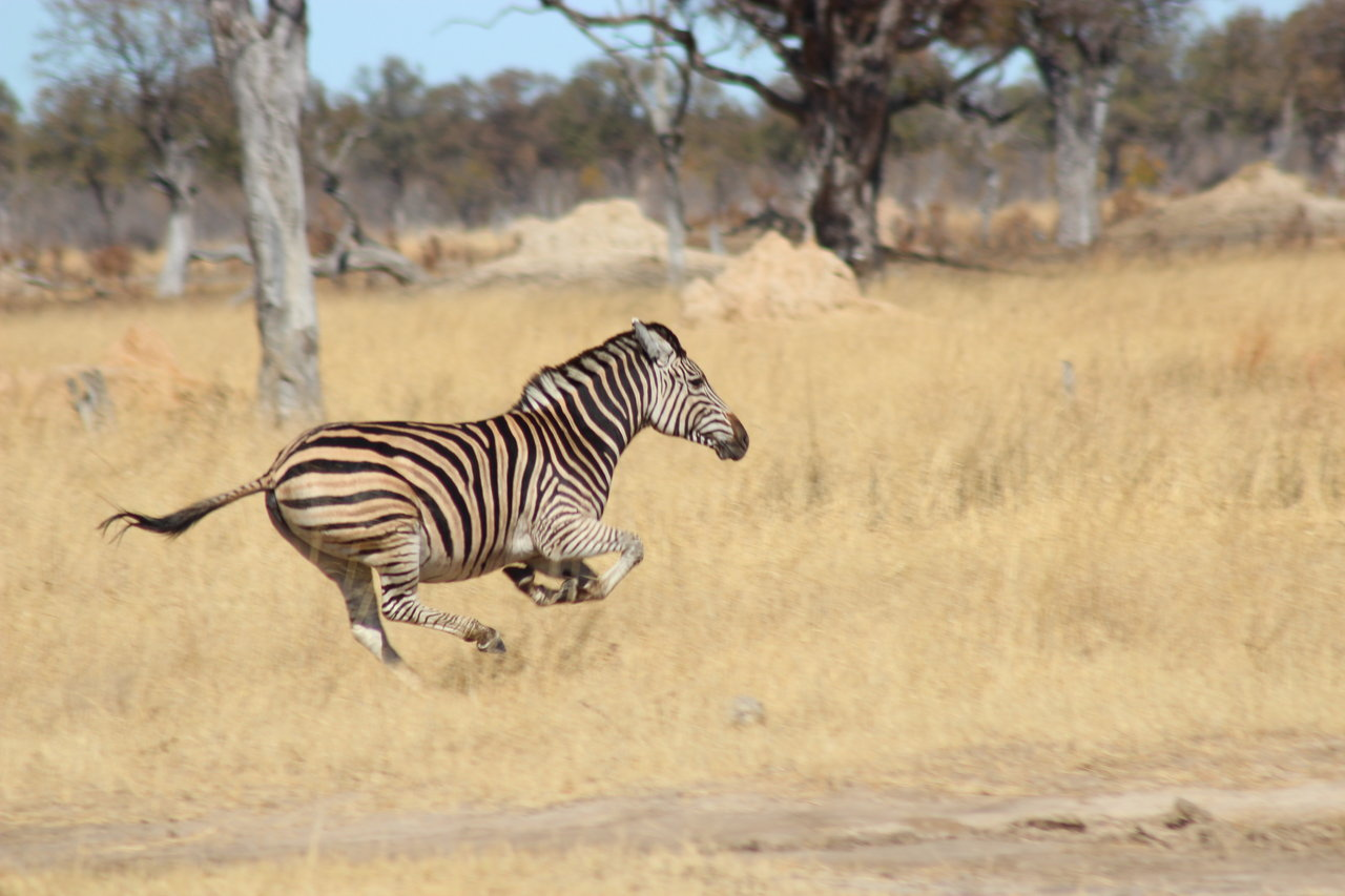 деревне нет картинка зебра бежит блюда
