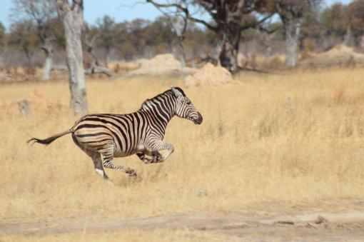 running_zebra_by_grazija-d5esg00