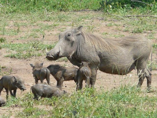 The warthog (Phacochoerus africanus). | pgcps mess - Reform Sasscer ...: pgcpsmess.wordpress.com/2014/08/19/the-warthog-phacochoerus-africanus