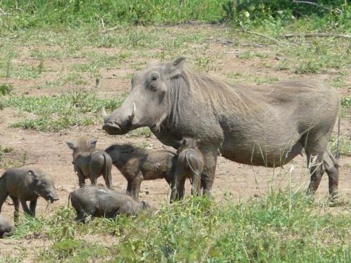 Warthog-babies