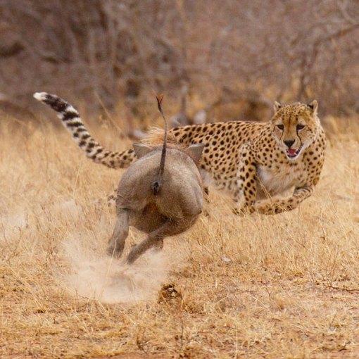 warthog-cheetah_2075121i_zpse96ce089