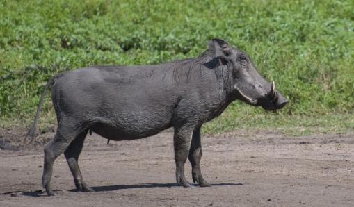 Warthog,_Masai_Mara