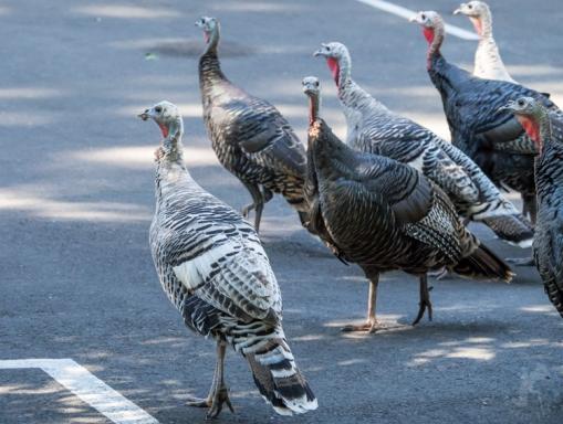 White-Wild-Turkeys