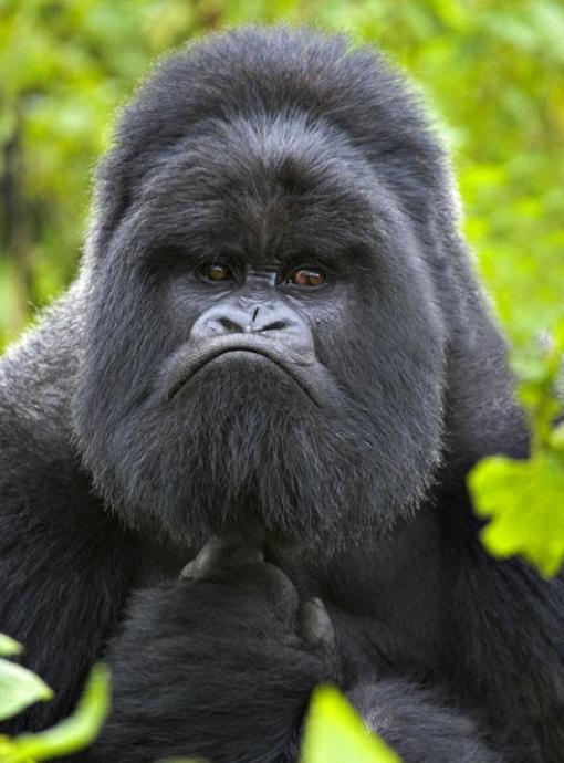 l-Mountain-Gorilla