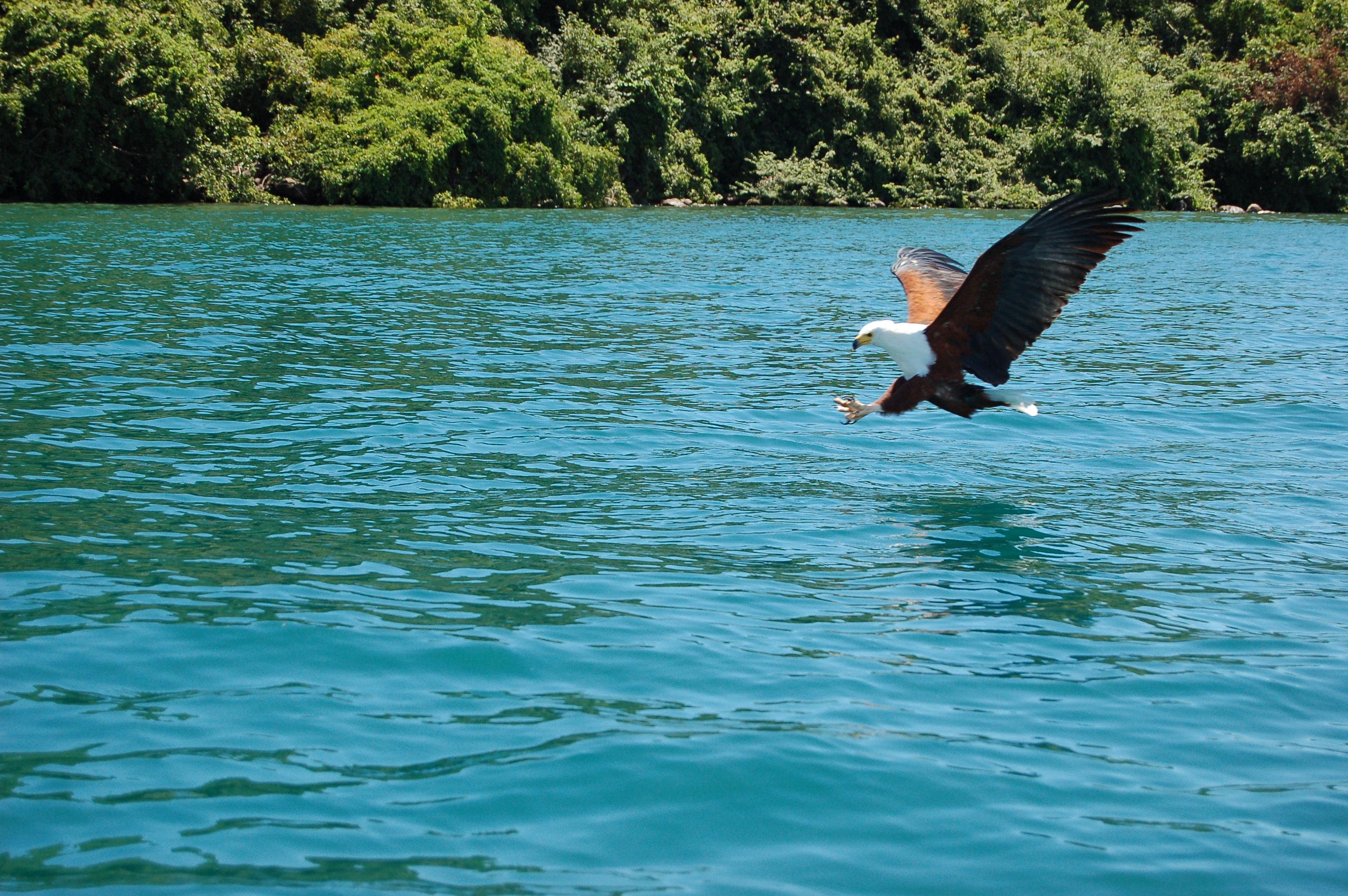 Haliaeetus_vocifer_-Cape_Maclear,_Malawi_-fishing-8