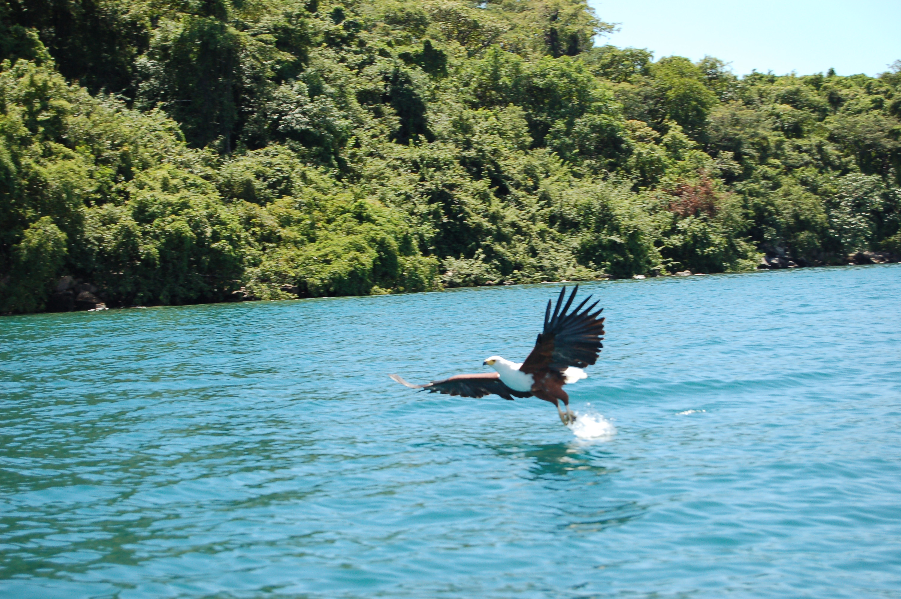lake-malawi-fish-eagle