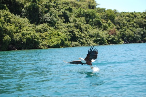lake-malawi-fish-eagle