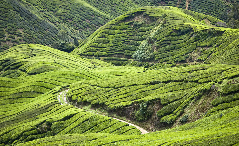 42_1boh_tea_plantation_malaysia