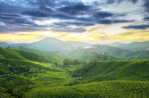 Tea Plantation of Cameron Highlands